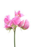 Sweet pea. Flower isolated on white royalty free stock photo