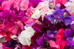 Sweet Pea Background Royalty Free Stock Images