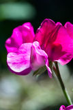 Sweet pea bloom Royalty Free Stock Photos