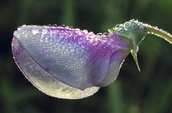 Sweet Pea Blossom and Dew. A sweet pea flower covered with dew in early morning Royalty Free Stock Photos