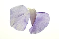 Sweet Pea Blossom on White. Photo of lavender sweet pea blossom on a white background stock photo