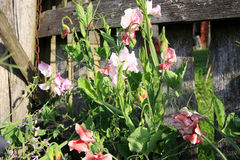 Sweet pea. Stock Photo