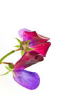 Sweet pea flower Stock Image