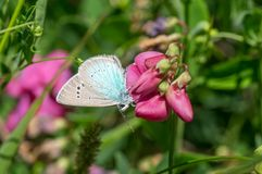Sweet pea flower and Common Blue Polyommatus icarus butterfly sucking nectar. Summer scene with wild sweet pea flower and Common Blue Polyommatus icarus stock image