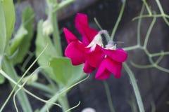 Sweet pea flower. Three dark pink sweetpea flowers Stock Image