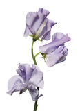 Sweet pea flowers Royalty Free Stock Photography