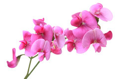 Sweet Pea Flowers Stock Image