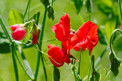 Sweet pea flowers Stock Photo
