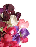 Sweet pea flowers. Wet bouquet of sweet pea flowers, isolated Royalty Free Stock Photography