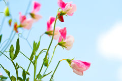 Sweet pea flowers against blue sky Royalty Free Stock Photography