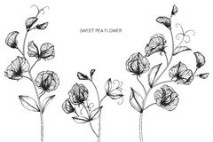 Line Drawing Of Flowers Clipart : Sweet pea flowers stock illustrations u2013 413