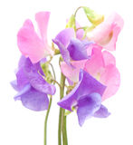 Sweet pea Royalty Free Stock Images