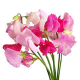 Sweet pea flowers Stock Photography