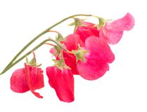 Sweet pea flowers stock images