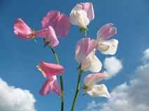 Sweet pea flowers (Lathyrus odoratus) Royalty Free Stock Photo