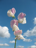 Sweet pea flowers (Lathyrus odoratus) Royalty Free Stock Photos