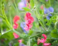 Sweet pea Royalty Free Stock Photos