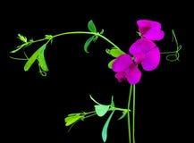 Sweet pea. (Lathyrus Odoratus) climbing plant with a beautiful fragrance stock photo