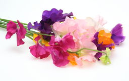 Sweet pea Stock Photography