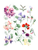 Sweet pea set. Colorful realistic set of sweet pea flowers and leafs Stock Image