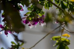 Sweet Pea Shrub flowers under winter light. Sweet Pea Shrub Petite Butterfly, Polygala fruticosa. These are living in Bodrum, Turkey. Flowers with two purple stock photography
