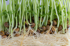 Sweet pea sprouts, Stock Photo