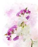 Sweet Pea Watercolor Stock Photography