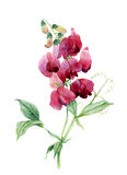 Sweet pea. Watercolor illustration Royalty Free Stock Image