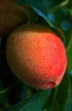 Sweet peach Royalty Free Stock Image
