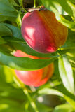 Sweet peach fruit growing on a peach tree branch. Stock Photography