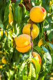 Sweet peach fruit growing on a peach tree branch. Stock Images