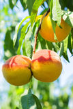 Sweet peach fruit growing on a peach tree branch. Royalty Free Stock Image