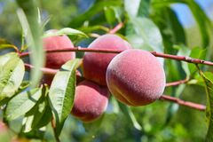 Free Sweet Peach Fruits Growing On A Peach Tree Branch Royalty Free Stock Image - 168871596