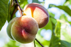 Sweet peach fruits growing on a peach tree branch Royalty Free Stock Photo