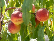 Sweet peach fruits growing on a peach tree branch in orchard.  B Royalty Free Stock Image