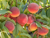 Sweet peach fruits growing on a peach tree branch in orchard. B. Ripe tasty peach on tree in sunny summer orchard. Pick you own fruit farm with tree ripen royalty free stock images