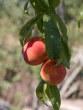 Sweet peach fruits growing on a peach tree branch in orchard.  B Royalty Free Stock Photography