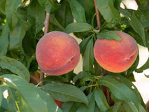 Sweet peach fruits growing on a peach tree branch in orchard.  B Stock Photography