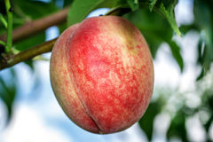 Sweet peach fruits growing on a peach tree branch Stock Image