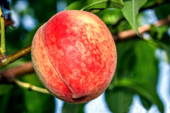 Sweet peach fruits growing on a peach tree branch Royalty Free Stock Photos