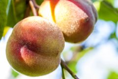 Sweet peach fruits growing on a peach tree branch Royalty Free Stock Image