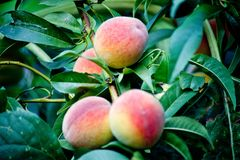 Sweet peach fruits growing on a peach tree branch. Peach, green Royalty Free Stock Images