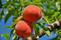 Sweet peach fruits growing on a peach tree Royalty Free Stock Image