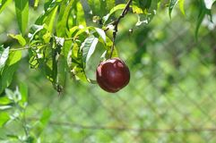 Peach tree. Sweet peach fruits growing from a tree branch Royalty Free Stock Photos