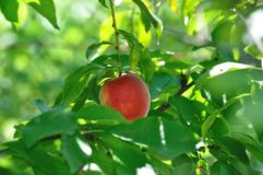 Peach tree. Sweet peach fruits growing from a tree branch Royalty Free Stock Images