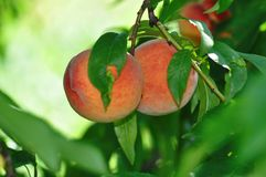 Peach tree. Sweet peach fruits growing from a tree branch stock image