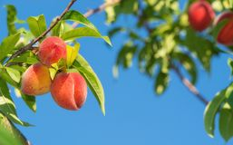 Peach fruits ripening on peach tree branch Stock Photography
