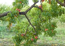 Sweet peaches on tree Royalty Free Stock Image