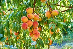 Sweet peaches on tree. In garden Stock Image