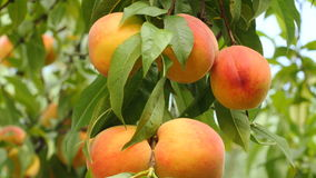 Sweet peaches on tree are ready to be harvested stock footage